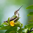 Ruby Throated Hummingbird Sitting Pretty by Christina Rollo
