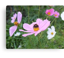 Bumble Bee on Cosmos Flower Canvas Print