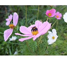 Bumble Bee on Cosmos Flower Photographic Print