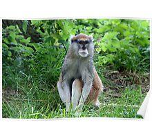 Patas Monkey Poster
