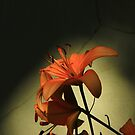 Tiger Lily-  by Brenda Dahl