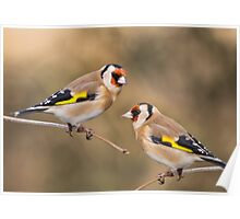 European Goldfinches Poster