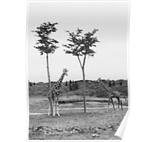 Two Giraffes - Black and White Poster