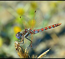 Dragonfly by Christina  Ochsner