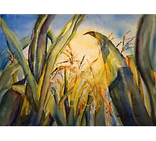 Sun Kissed Corn Photographic Print