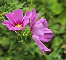 Cosmos Tickles Me Pink - Cosmos caudatus by MotherNature