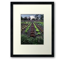 Lettuce line up Framed Print