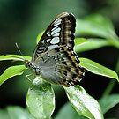 Brown Clipper - Parthenos Sylvia by Poete100