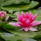 Water Lily... by RichImage