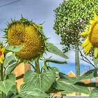 Trio of Sunflowers by Thomas Stayner