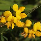 Birdsfoot Trefoil by Linda  Makiej Photography