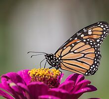 Fall Monarch 2016-6 by Thomas Young