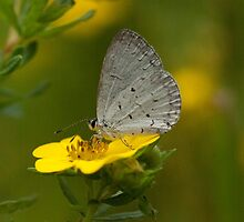Summer Azure on Potentilla by Gillian Marshall