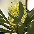 Beautiful Banksia by Michelle Munday