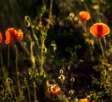 Vivid poppies at sunset Sticker