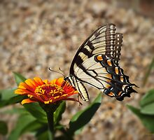 Eastern Tiger Swallowtail  by hannahsview
