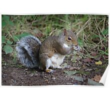 Squirrel at Tehidy Woods in Cornwall.   Poster