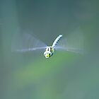 """"""" Common Hawker In Flight """" by Richard Couchman"""