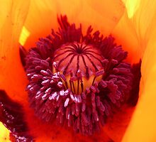Macro of a Poppy by Vicki Spindler (VHS Photography)