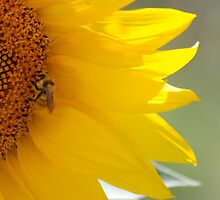 Sunflower and Bee by Jeffrey Ralph