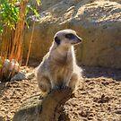 Meerkat by Vicki Spindler (VHS Photography)