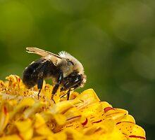 Bumble Bee Feeding by Dan Dexter