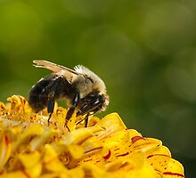 Bumble Bee Feeding by Dan Dexter