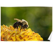 Bumble Bee Feeding Poster
