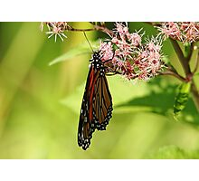 Folded Monarch Photographic Print
