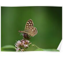 Speckled Wood Butterfly at Gwithian Nature Reserve in Cornwall. Poster