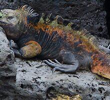 Large Marine Iguana by David Galson