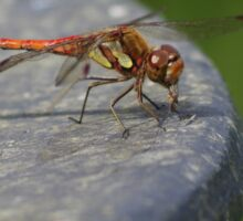 Common Darter Dragonfly at Gwithian Nature Reserve in Cornwall.  Sticker