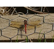 Common Darter Dragonfly at Gwithian Nature Reserve in Cornwall.  Photographic Print