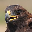 Young Golden Eagle by RichImage