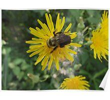 Bee on Flower Macro Poster