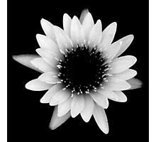 Water Lily 022 - Black and White Photographic Print