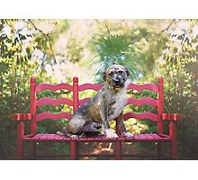 Wire Haired Dog on Red Bench Photographic Print