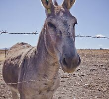 Donkey by lightwanderer