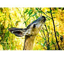 Mule Deer in Jackson Hole Photographic Print