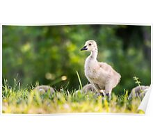 Baby Geese in the Morning Light  Poster