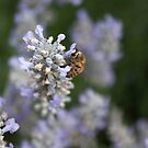 the bee and the lavender by flightlessXbird