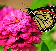 Butterfly & Zinnia  by lorilee