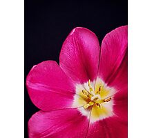 Spring Time Tulip Photographic Print