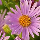 New England Aster  by lorilee