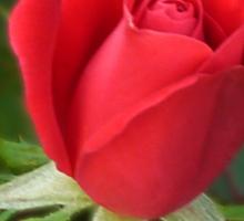 Rose Radtko Sticker