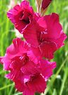 Pink Gladiolus by Evelyn Laeschke