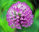 Pink Clover - Trifolium by Evelyn Laeschke