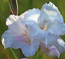 White Gladiolus by Evelyn Laeschke