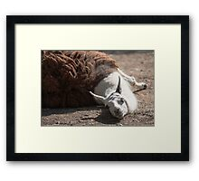lamas in the farm Framed Print