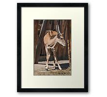 deer in the mountains Framed Print
